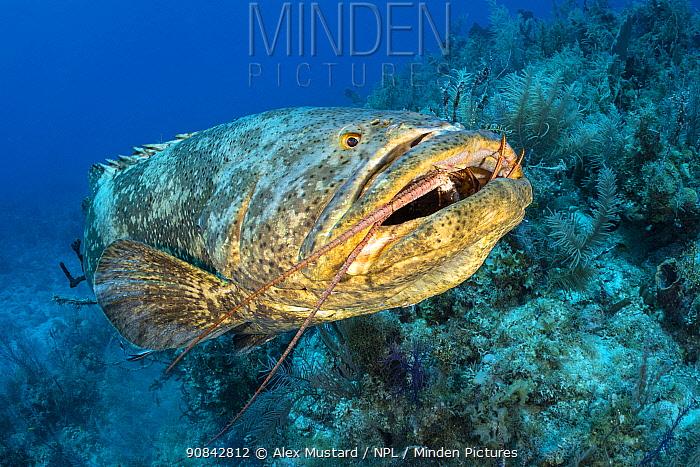 Atlantic goliath grouper (Epinephelus itajara) feeding on a Caribbean spiny lobster (Panulirus argus). Despite the awkward shape of its meal, the grouper made short work of it. Jardines de la Reina, Gardens of the Queen National Park, Cuba. Caribbean Sea.
