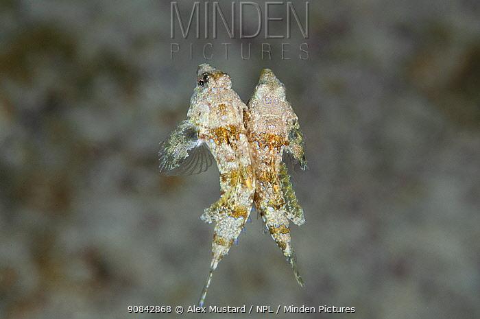 Lancer dragonets (Paradiplogrammus bairdi) pair spawning. West Bay, Grand Cayman, Cayman Islands, British West Indies. Caribbean Sea