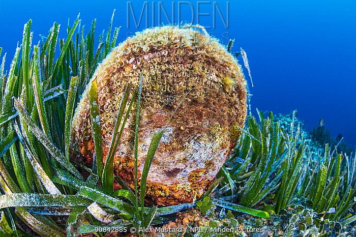 Noble pen shell (Pinna nobilis), a large bivalve shell (this individual was about 60cm) endemic to the Mediterraean, grows vertically in a Mediterranean sea grass (Posidonia oceanica) meadow. Costa Paradiso, Gallura, Sardinia, Italy. Mediterranean Sea.