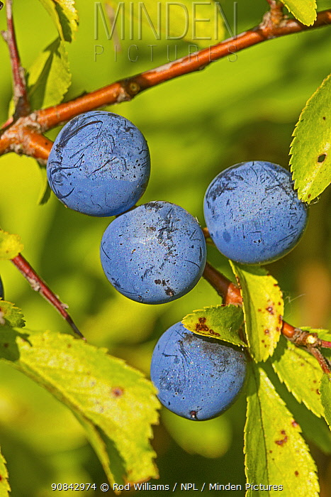 Sloes on Blackthorn bush (Prunus spinosa). Sutcliffe Park Nature Reserve, Eltham, London, England, UK. August.