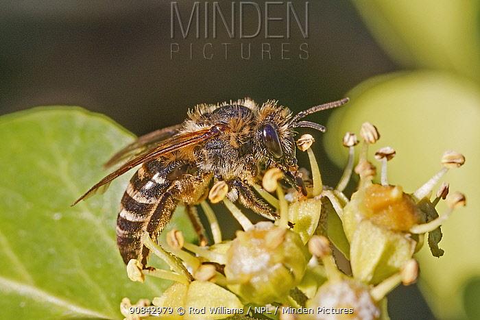 Ivy bee (Colletes hederae) male feeding on Ivy (Hedera helix). Beverley Court Gardens, Lewisham, London, England, UK. October.