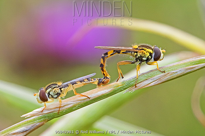 Hoverfly (Sphaerophoria scripta) pair mating. Sutcliffe Park Nature Reserve, Eltham, London, England, UK. July.