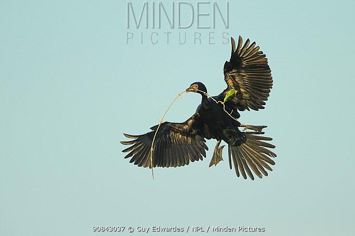 Reed cormorant (Microcarbo africanus) in flight, nesting material in beak. Chobe River, Botswana.