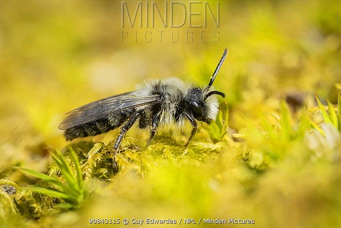 Grey mining bee (Andrena cineraria). Uplyme, Devon, England, UK. April.