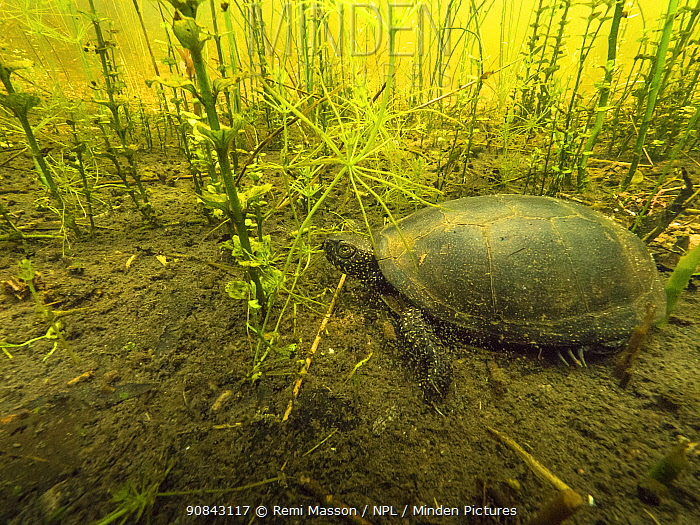 European pond turtle (Emys orbicularis) underwater on the bottom of a pond. Isere, Cremieu, Bugey, France, May.