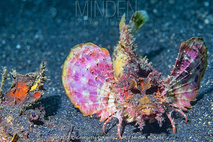 Spiny devilfish (Inimicus didactylus) pair. Lembeh Strait, North Sulawesi, Indonesia.