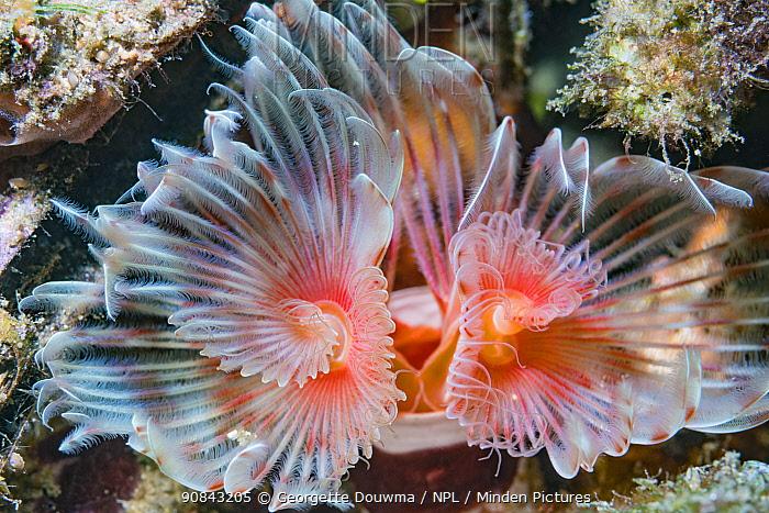 Magnificent tube worm (Protula bispiralis). Lembeh Strait, North Sulawesi, Indonesia.