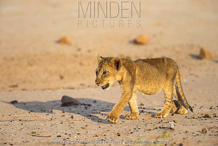 Lion (Panthera leo) cub, Kgalagadi Transfrontier Park, South Africa.