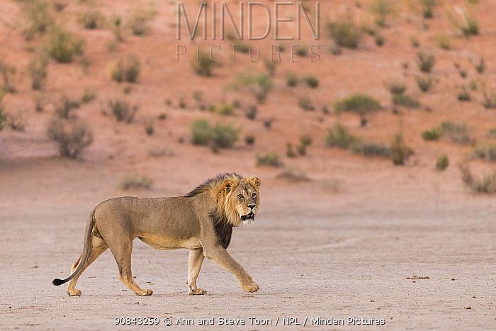 Lion (Panthera leo) walking, Kgalagadi Transfrontier Park, South Africa.