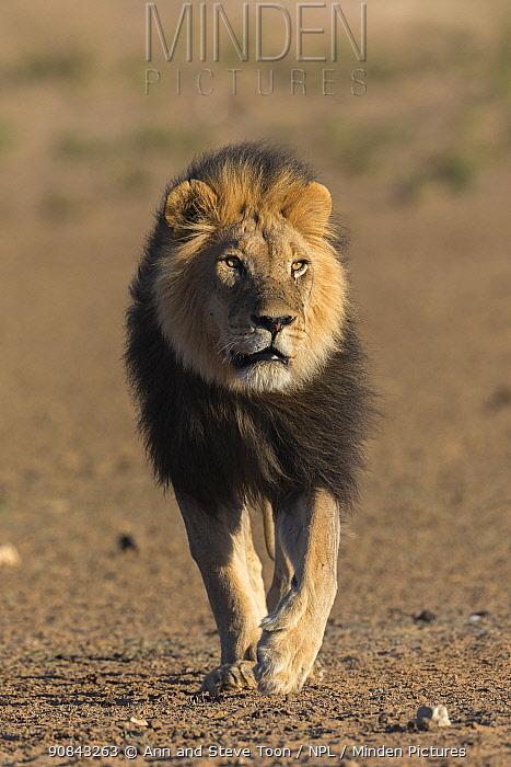 Lion (Panthera leo) with dark mane, Kgalagadi Transfrontier Park, South Africa.