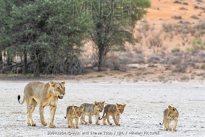 Lioness (Panthera leo) with cubs, Kgalagadi Transfrontier Park, South Africa.