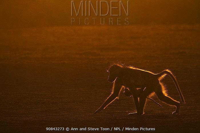 Chacma baboon (Papio ursinus) silhouetted carrying infant, Mashatu game reserve, Botswana, December.