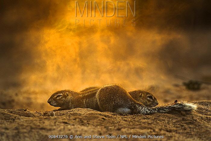 Ground squirrel (Xerus inauris), Kgalagadi Transfrontier Park, South Africa.