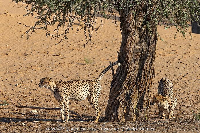 Cheetah (Acinonyx jubatus) scent-marking, Kgalagadi Transfrontier Park, South Africa.