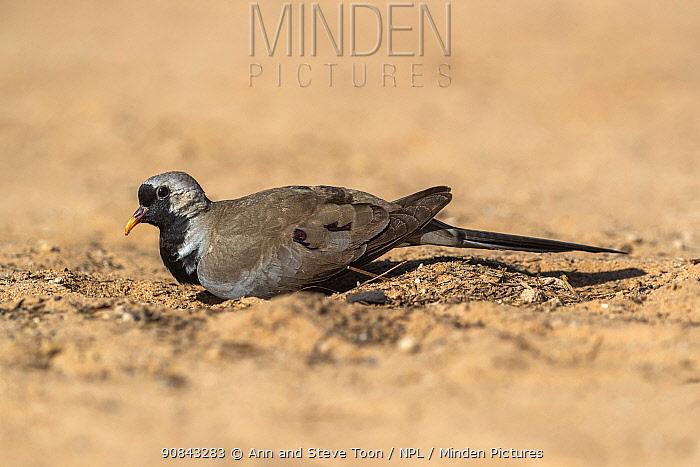 Namaqua dove (Oena capensis), Kgalagadi Transfrontier Park, South Africa.
