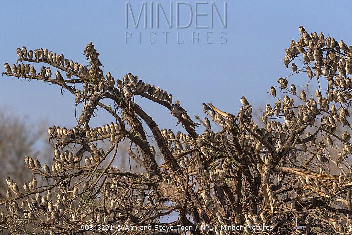 Red-billed quelea (Quelea quelea) flock, Mashatu game reserve, Botswana.