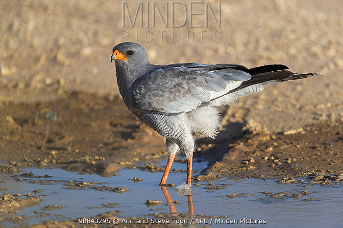 Pale chanting goshawk (Melierax canorus) at water, Kgalagadi Transfrontier Park, South Africa.