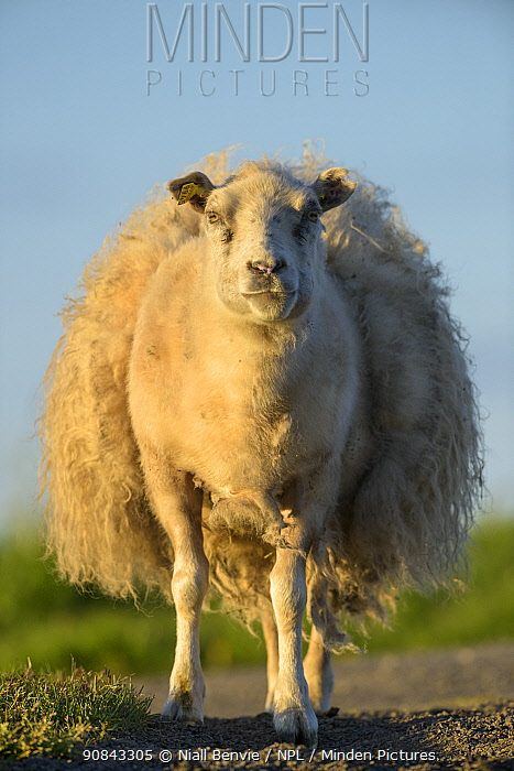 Icelandic sheep loosing its wool, Flatey, Iceland, June.