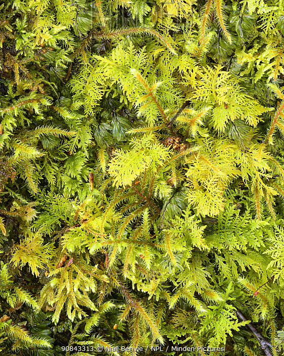Wilson's filmy fern (Hymenophyllum wilsonii) with assorted mosses, Loch Maree, Wester Ross, Scotland, UK, May.