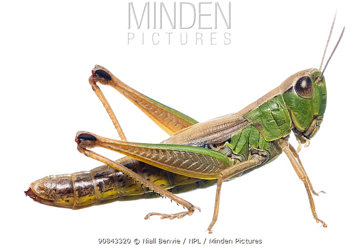 Meadow grasshopper, (Chorthippus parallelus) against white background, Burgundy, France, July.