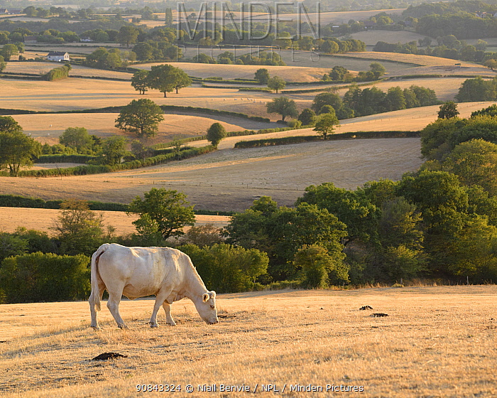 Charolais cattle in parched landscape, Le Grand Satenot, Ternant, Burgundy, France, August.