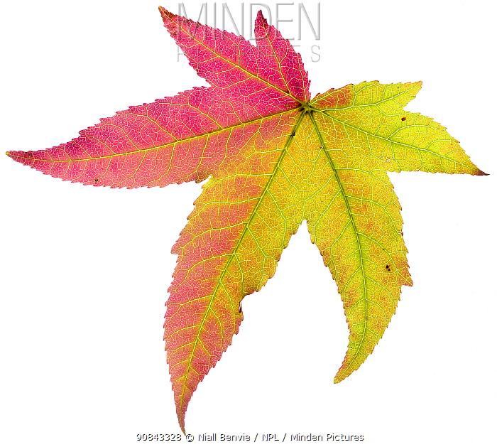 Liquidambar / Sweetgum (Liquidambar styraciflua) tree leaf changing to autumn colour, France