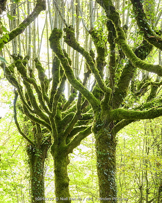 Pollarded limes trees (Tilia cordata)covered in moss and ivy, Pierrefitte, France, September.