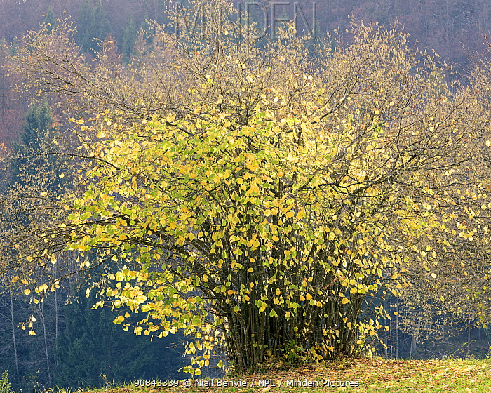 Hazel (Corylus avellana) tree, Koprivnik, Slovenia, October.