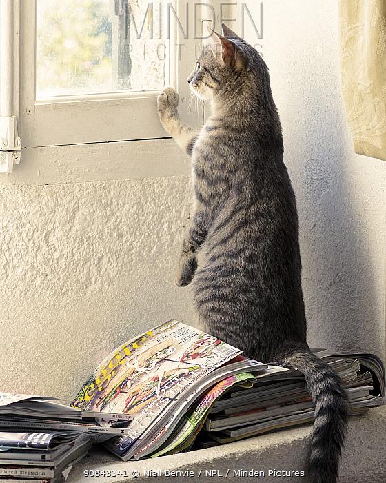 Kitten looking out of window, France.