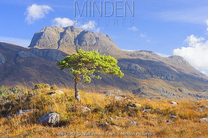Scots pine (Pinus sylvestris) Torridon, Scotland, UK, November 2016.