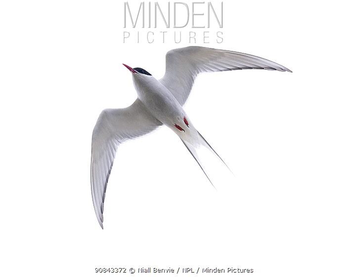 Arctic tern (Sterna paradisea) flying, Rif, Iceland.