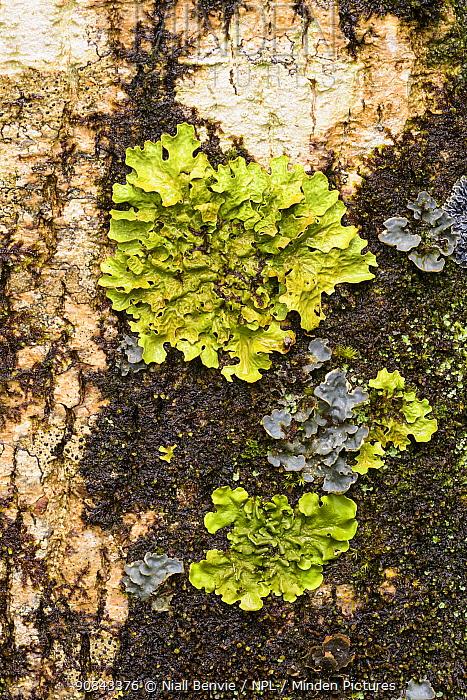 Tree lungwort (Lobaria pulmonaria) Crinan Wood, Crinan, Argyll, Scotland, UK, July.