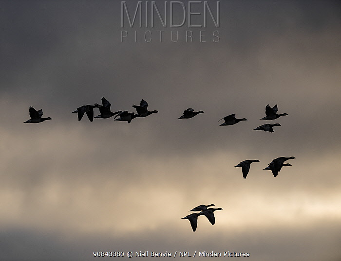 Barnacle geese (Branta leucopsis) flying at dawn, Islay, Argyll, Scotland