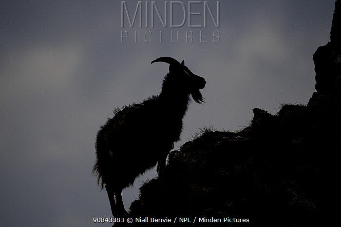Feral goat silhouetted on rock, Islay, Argyll, Scotland