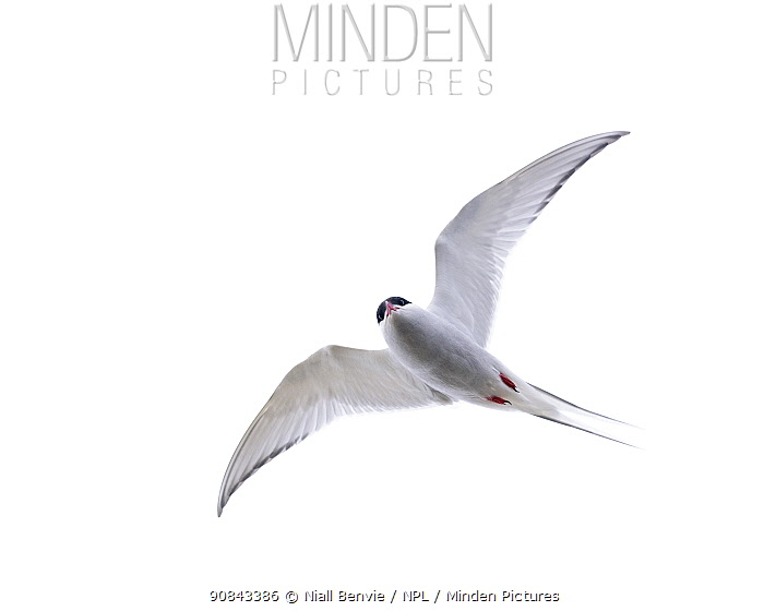 RF - Arctic tern (Sterna paradisaea) in flight, Rif, Iceland. (This image may be licensed either as rights managed or royalty free.)