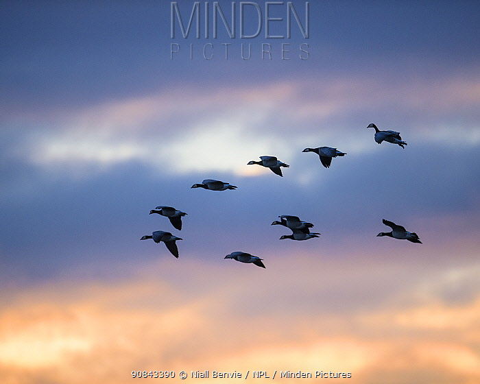 RF - Barnacle geese (Branta leucopsis) flying in formation at dawn, Islay, Argyll, Scotland (This image may be licensed either as rights managed or royalty free.)