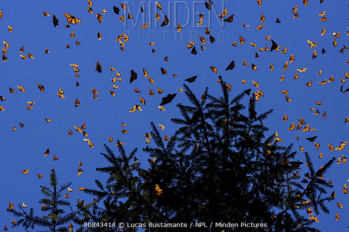 Monarch butterflies (Danaus plexippus) flying during a warm morning. When the overwintering period draws to an end large numbers become active. Michoacan, Mexico, February.