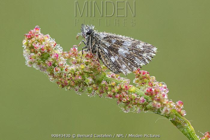 Grizzled skipper butterfly (Pyrgus malvae) covered in dew droplets. Klein Schietveld, Brasschaat, Belgium. May.