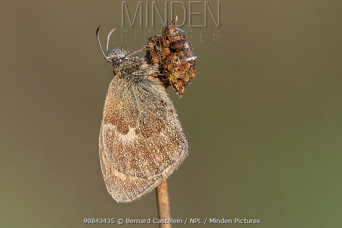 Small heath butterfly (Coenonympha pamphilus), wings covered with dew droplets. Klein Schietveld, Brasschaat, Belgium