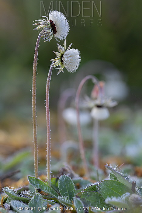 Mouse-ear hawkweed (Pilosella officinarum) seedheads. Klein Schietveld, Brasschaat, Belgium. May.
