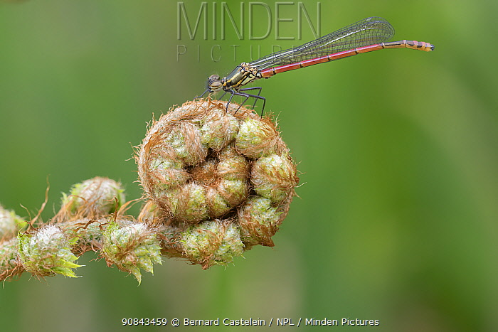 Large red damselfly (Pyrrhosoma nymphula) resting on Fern frond. Brasschaat, Belgium. May.
