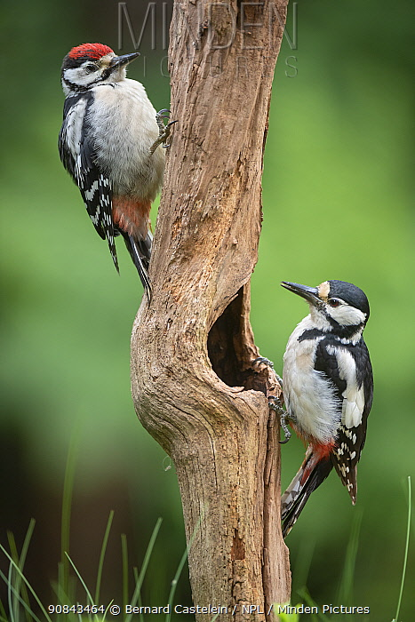 Great spotted woodpecker (Dendrocopus major), two on tree trunk, juvenile on left, adult female on right. Brasschaat, Belgium. June.
