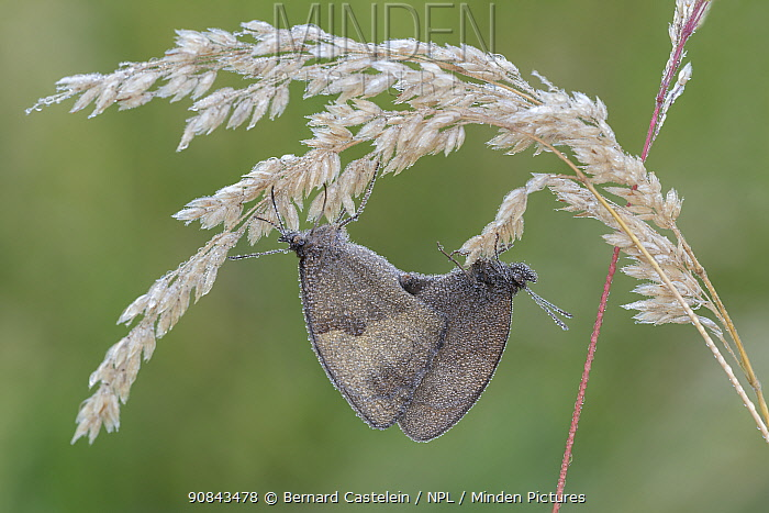 Meadow brown butterfly (Maniola jurtina) pair mating on Soft-grass (Holcus sp) panicle, dew covered. Peerdsbos, Brasschaat, Belgium. June.