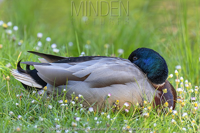Mallard (Anas platyrhynchos) drake, resting with head tucked under wing.Peerdsbos, Brasschaat, Belgium. May.