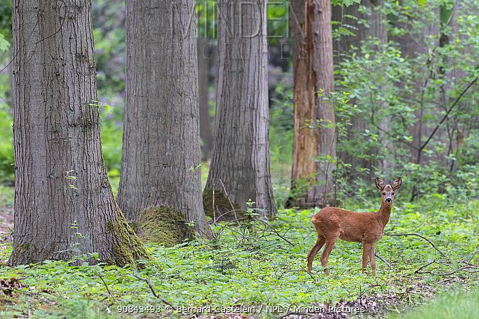 Roe deer (Capreolus capreolus) female in woodland. Peerdsbos, Brasschaat, Belgium. May.