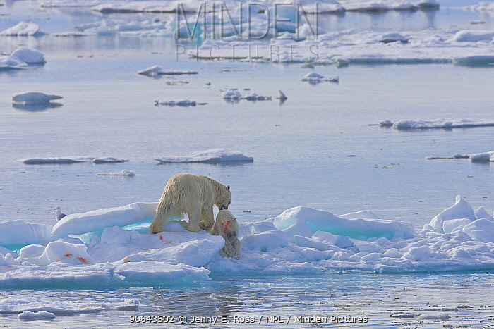 Polar bear (Ursus maritimus) adult male feeding on young yearling cub in rare incident of cannibalism. Svalbard, Norway. July.