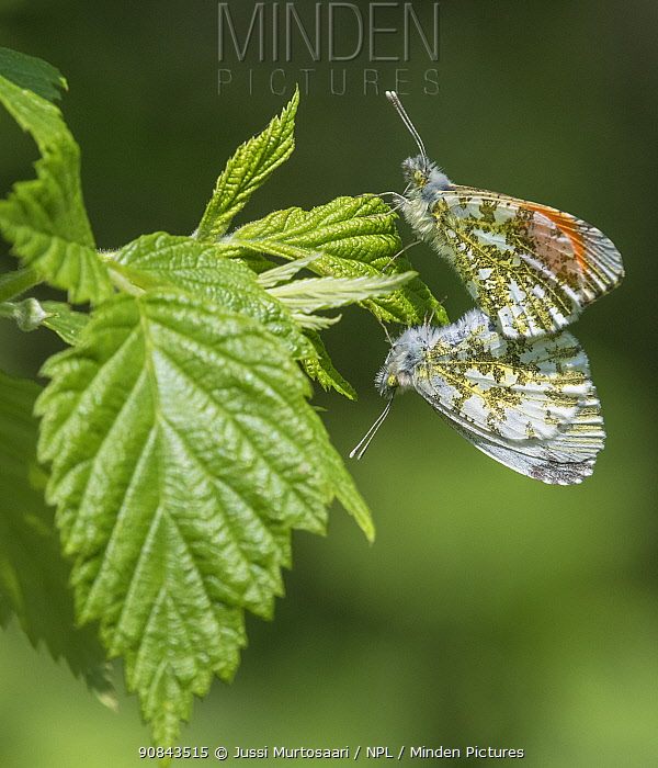 Orange-tip (Anthocharis cardamines) butterfly pair mating on leaf. Hautajarvi, Central Finland. June.