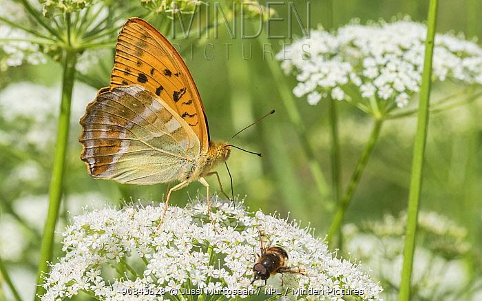 Silver-washed fritillary (Argynnis paphia) butterfly male nectaring alongside Bee-fly. Jyvaskyla, Central Finland. July.