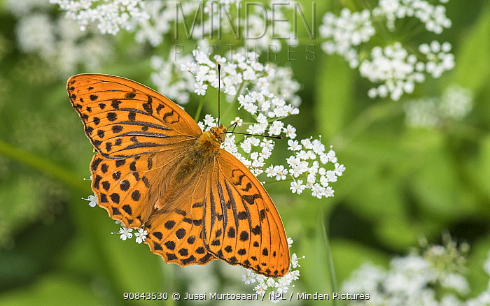 Silver-washed fritillary (Argynnis paphia) butterfly male nectaring. Jyvaskyla, Central Finland. July.