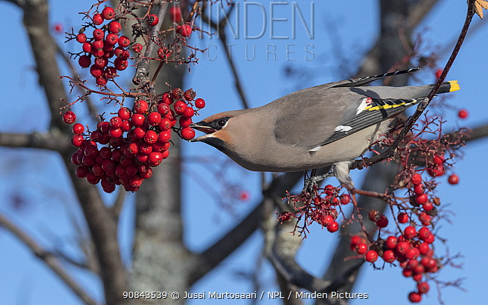 Bohemian waxwing (Bombycilla garrulus) feeding on Rowan (Sorbus sp) berries. Jyvaskyla, Central Finland. October.